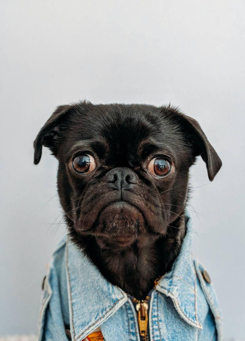 Upset pug with a jacket on