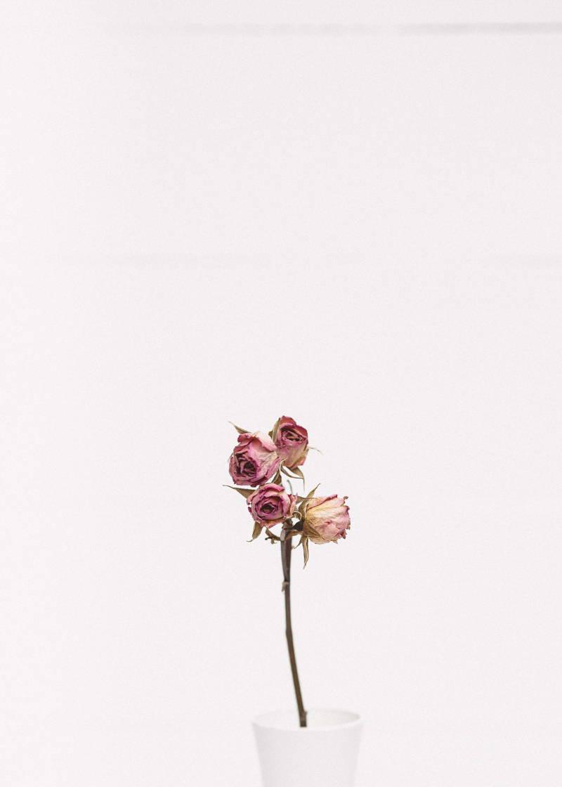 Dead pink rose