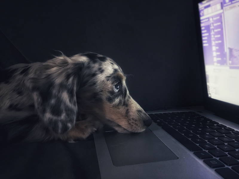 Dog looking at a computer