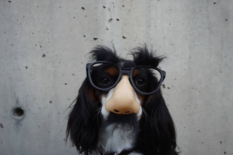 Dog in a disguise